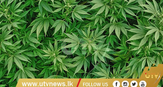An individual arrested with Kerala Ganja worth more than Rs. 400,000 in his possession