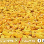 SWEET CORN-UTV-NEWS