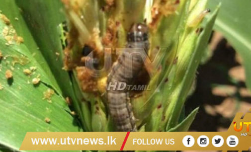 Cabinet approves Rs.250 million to compensate affected farmers by Fall army worm